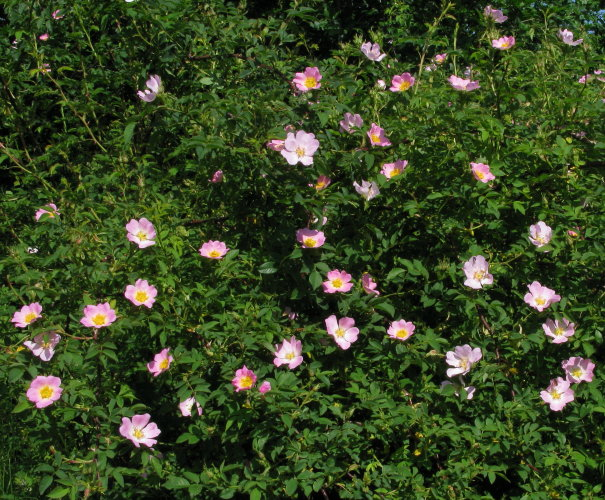 Dogrose flowers