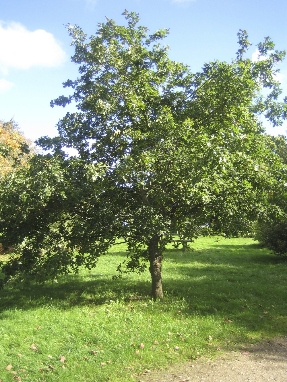 English oak in the summertime