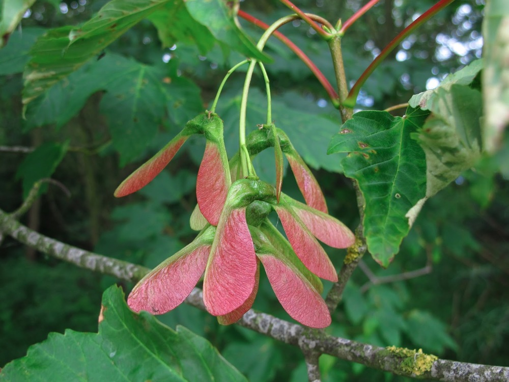The 'Helicopter' seeds of the field Maple