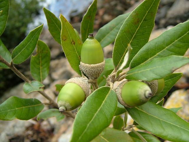 The Hom acorn
