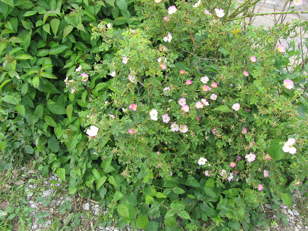 Sweetbriar shrub