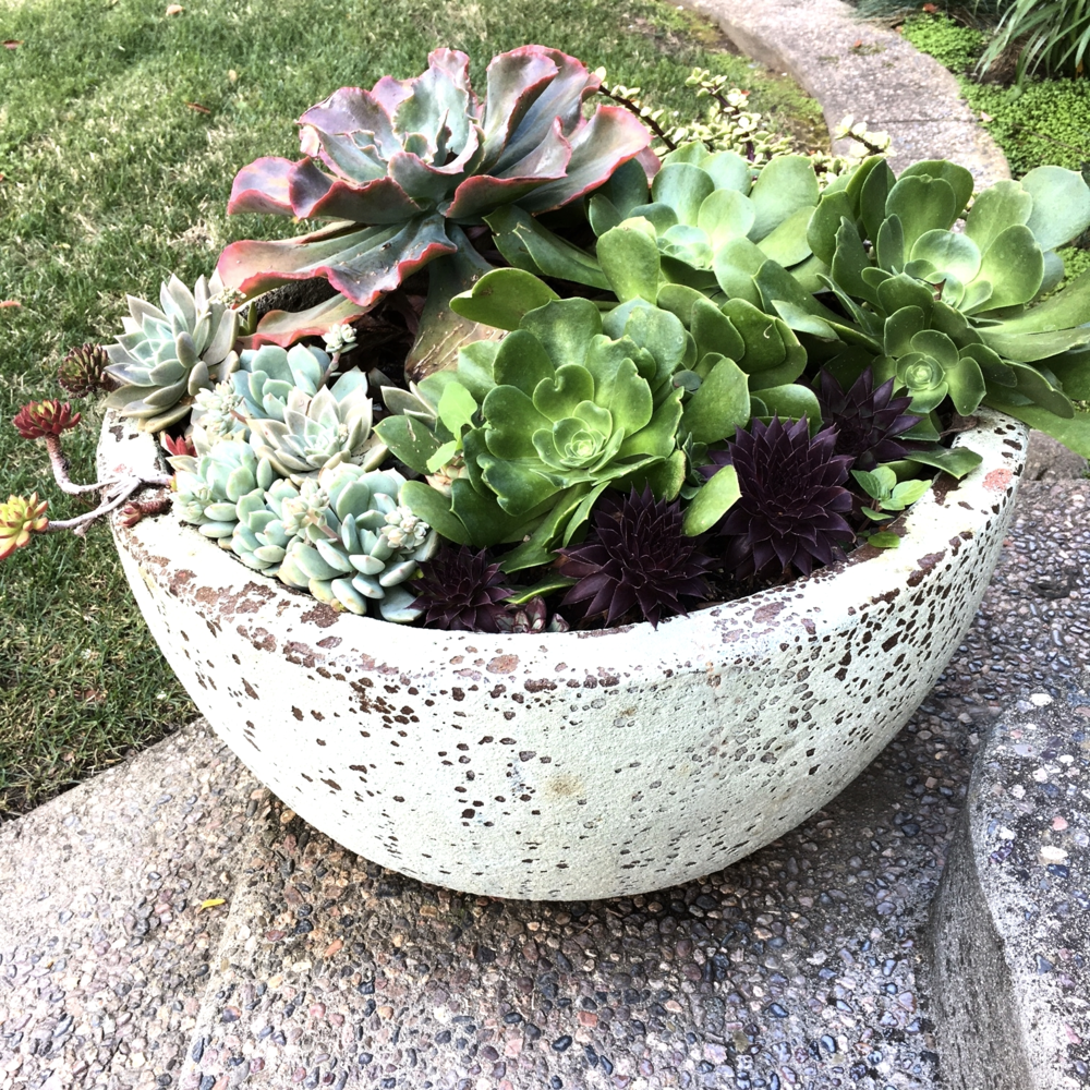 These are a set of planters that flank my front door. Once I saw them, I just had to have them even thought they were out of my budget. I got them at my favorite undercover nursery here in San Jose called Green Design. The place is sublime.