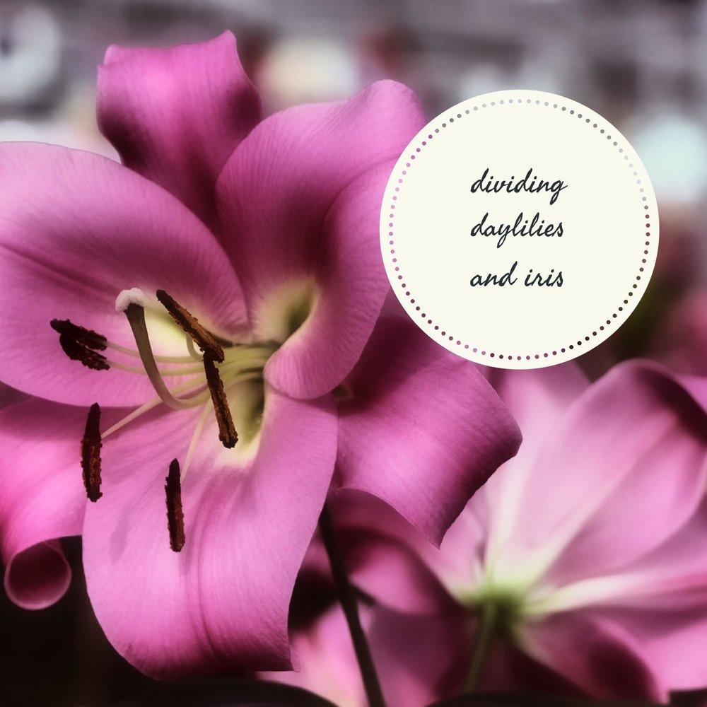 dividing daylilies.jpg