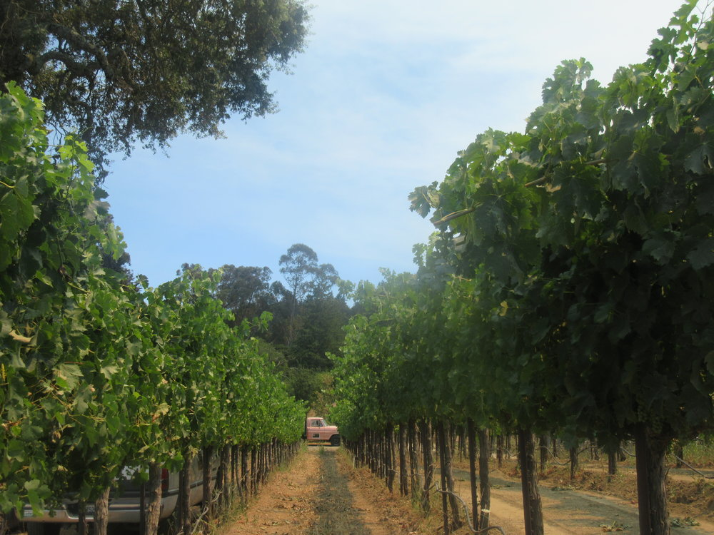 Vineyard perspective los gatos california