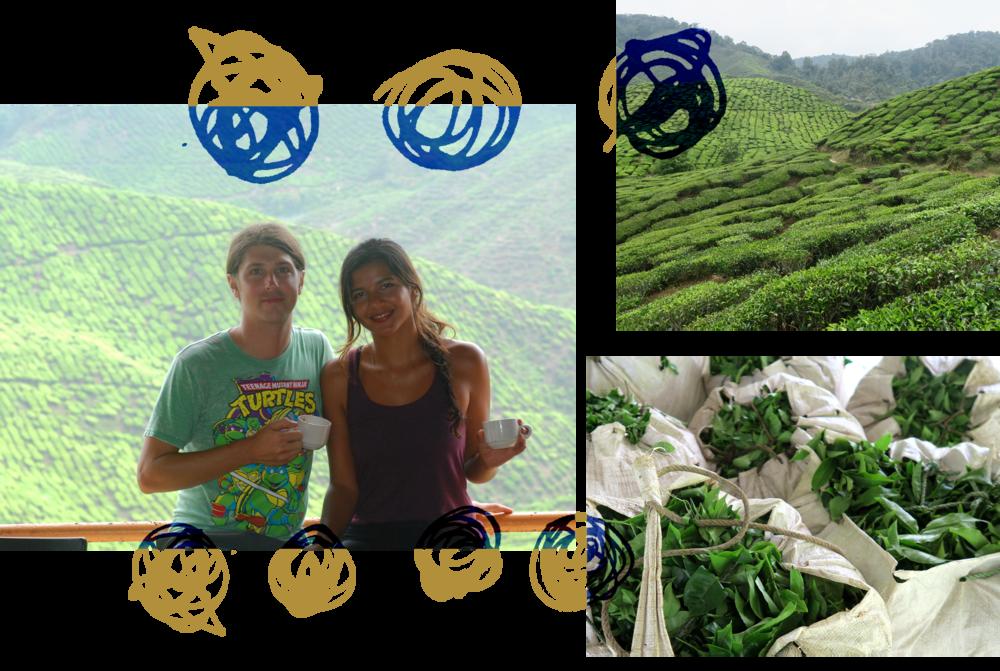 teafields3.png