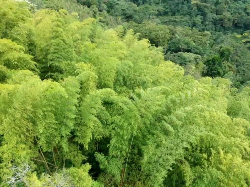 Gaia's beautiful Bamboo Forest