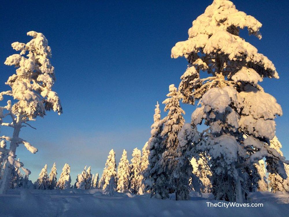 Lapland snow pine trees.jpg