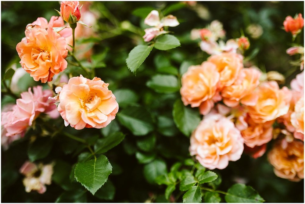 orange and pink roses at brooklyn botanic garden