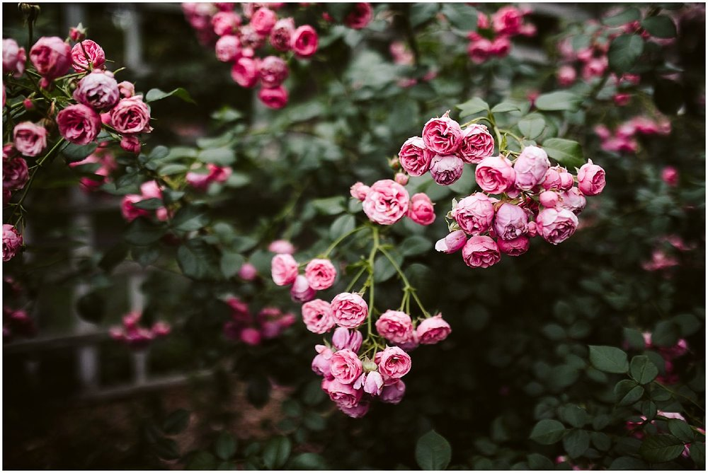 bright pink roses at brooklyn botanic garden wedding