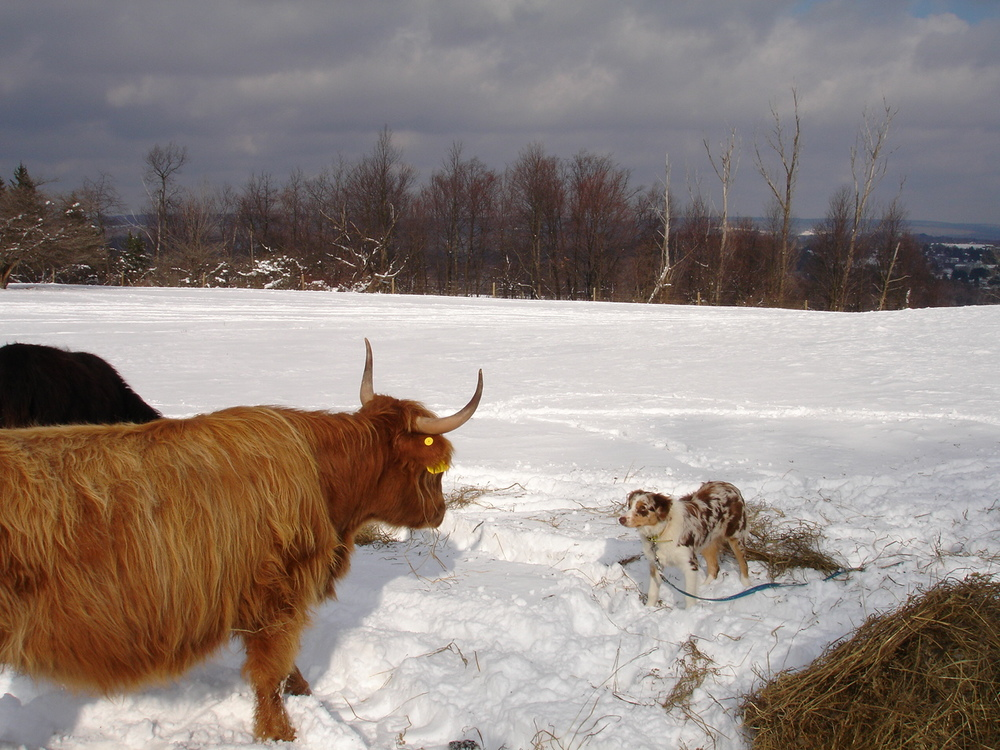 blue_versus_scottish_highland_cattle.jpg
