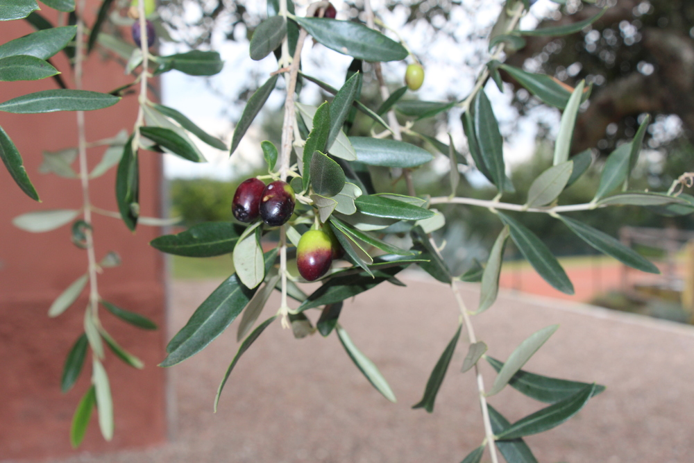 Ripe Olives, Il Molino, Montefiascone, Italy