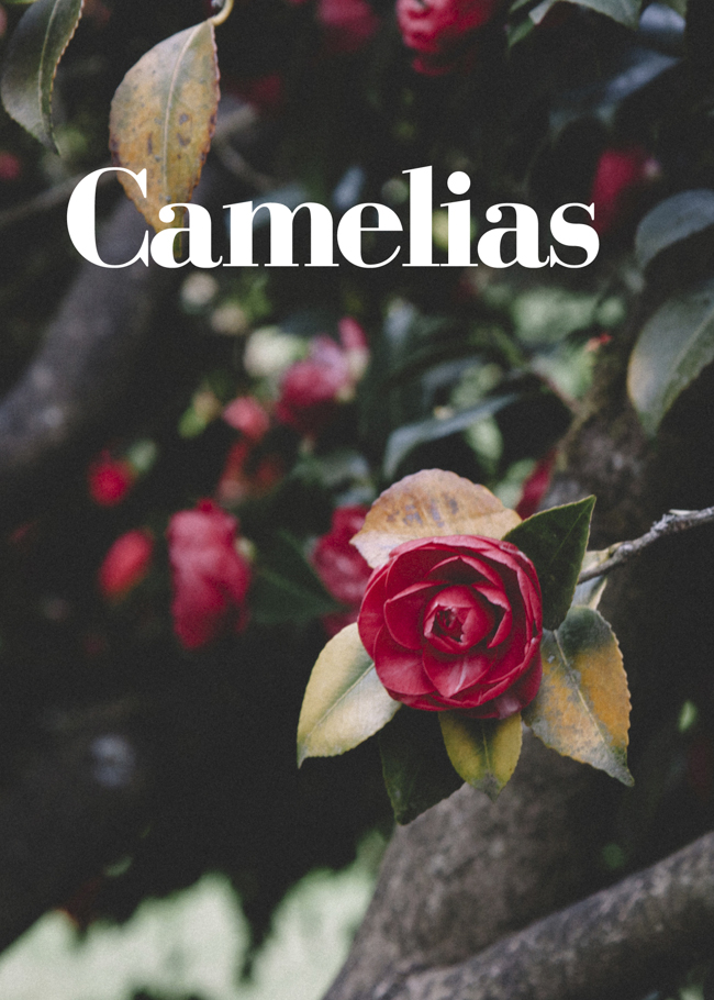 Camellias by © Honest Magazine