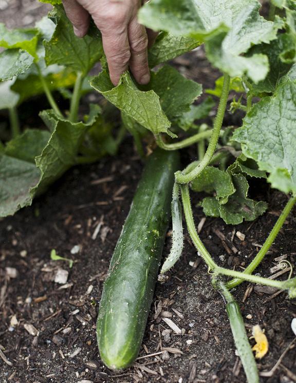 Garden Cucumber by © Honest Magazine