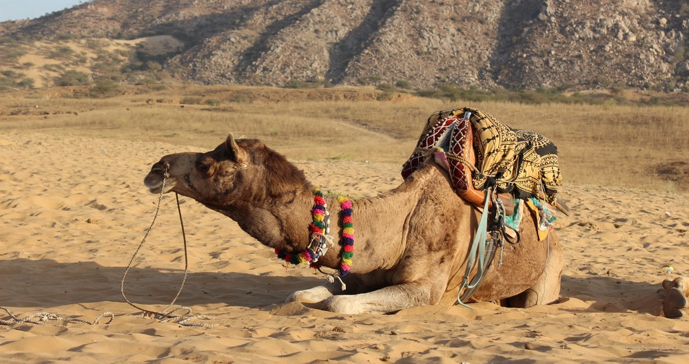 Camel in the Thar