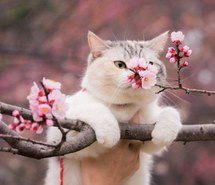 animals-botanical-cat-cherry-blossom-Favim.com-2838999.jpg