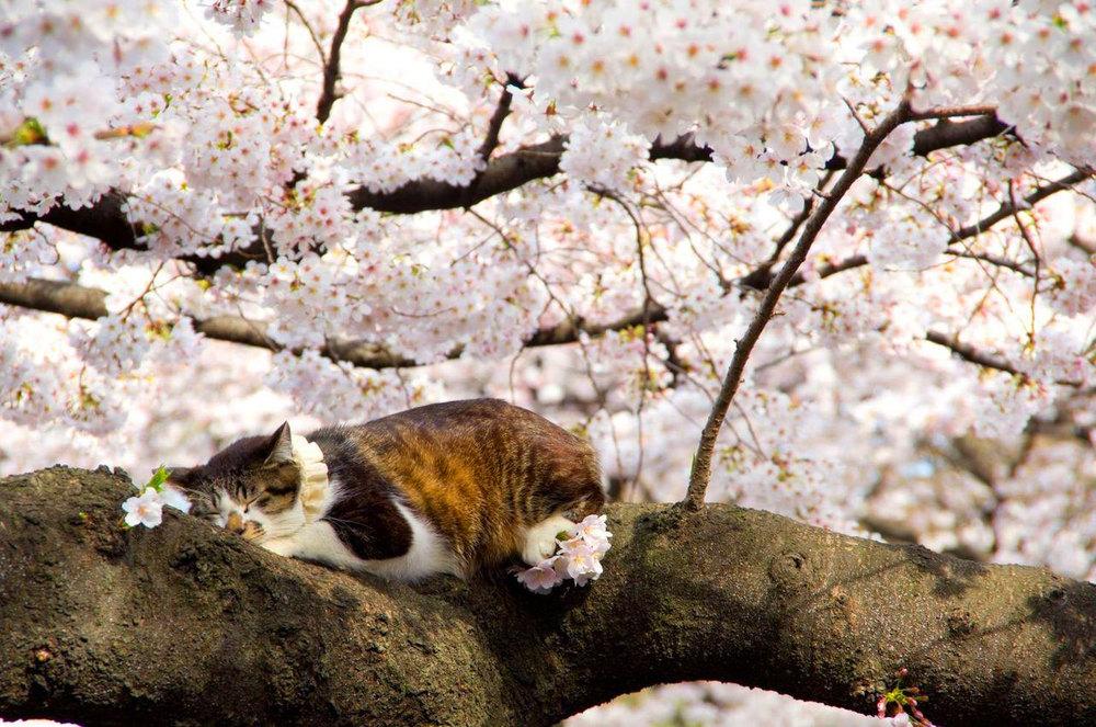 cat cherry blossom