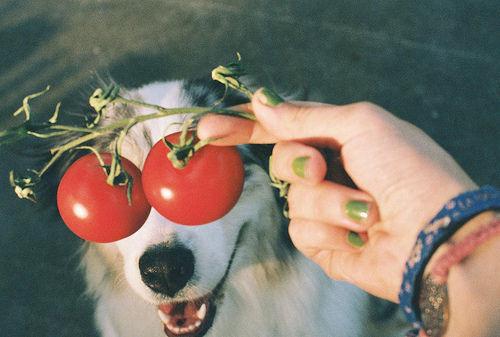 dog tomato