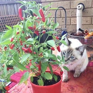 chili kitten.jpg