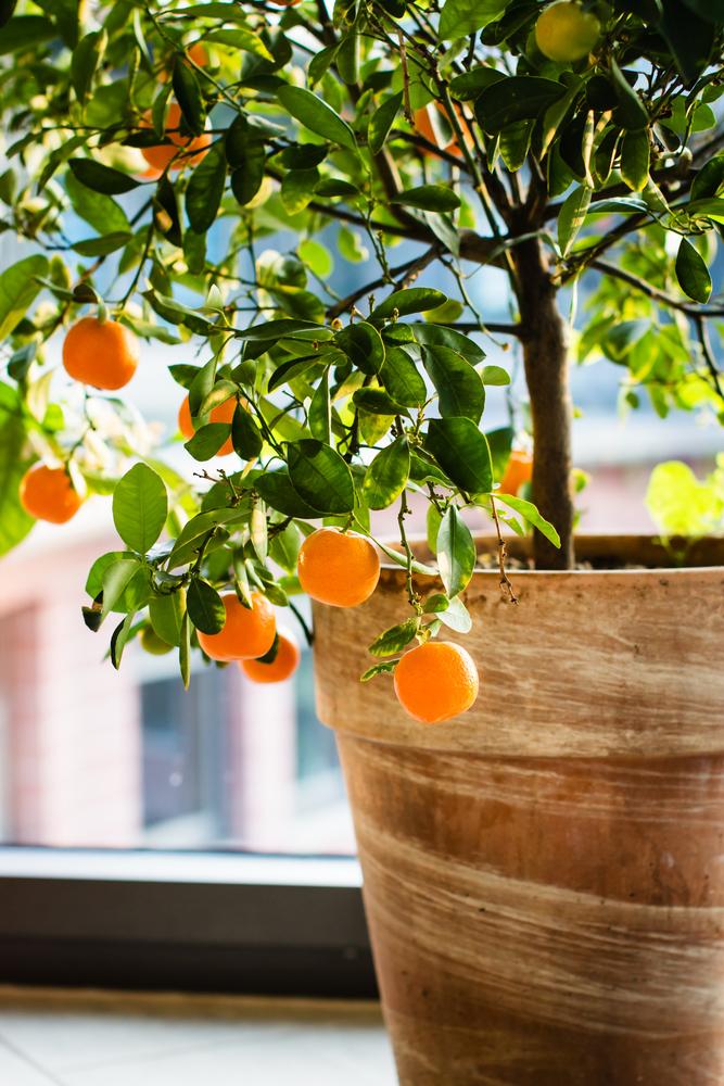 mandarin tree.jpg