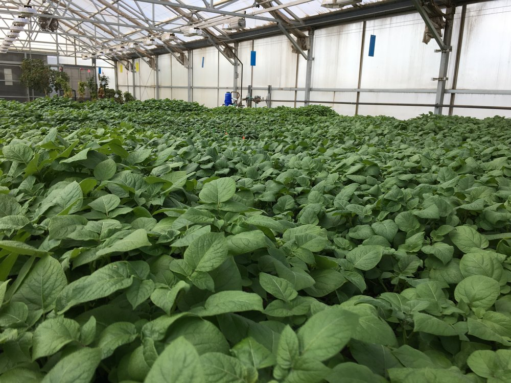 Test Plants at the CSU Potato Extension