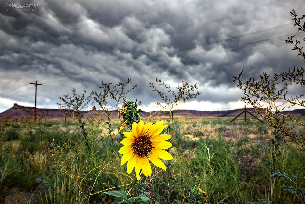 Desert flower - Arizona