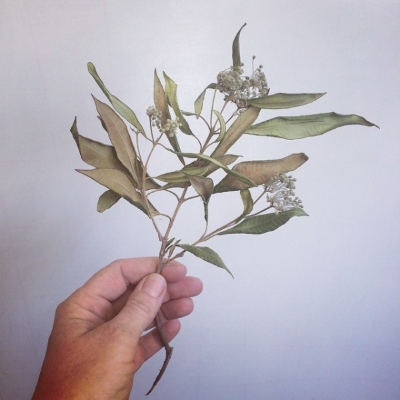 Wild harvested lemon myrtle for our Camille blend