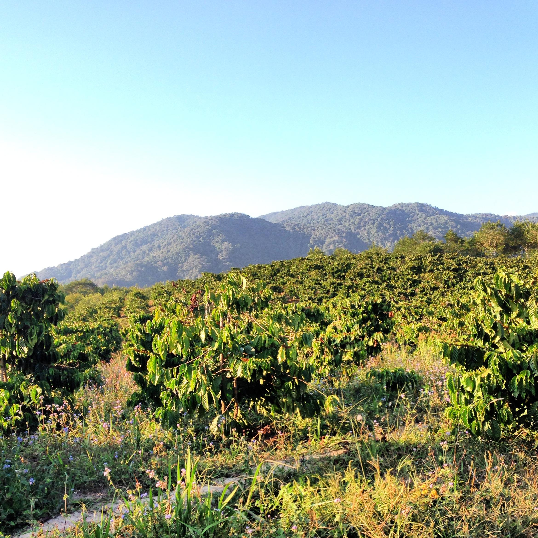 Coffee trees beyond the horizon...
