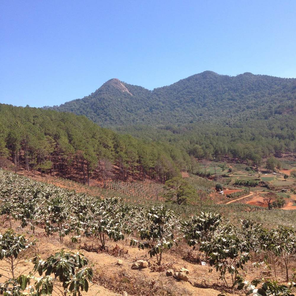 Coffee plants in bloom and Lang Biang Mountain in the distance
