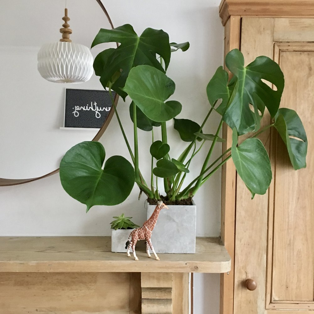 Monstera at home