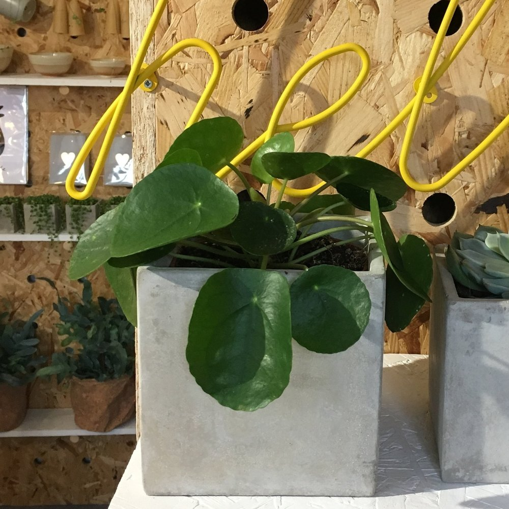 Chines Money Plant/Pilea Peperomioides - Light - Plenty, please Water - Keep moist but not over-watered Likes - Well-drained soil Hates - Direct sunlight will scorch those pancake leaves Pet Friendly - Yes