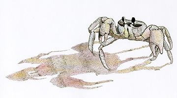 fiddler crabw.jpg