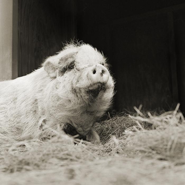Violette, pot-bellied pig. Age 12. Photographer: Isa Leshko.