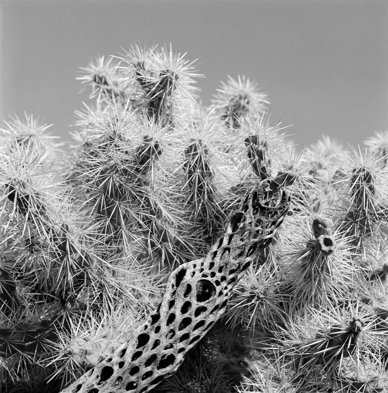 Saguaros No. XIX, 1992
