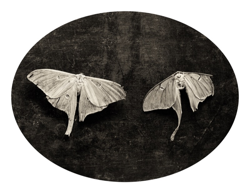 Linda Foard Roberts, Soulmate Moths, 2003