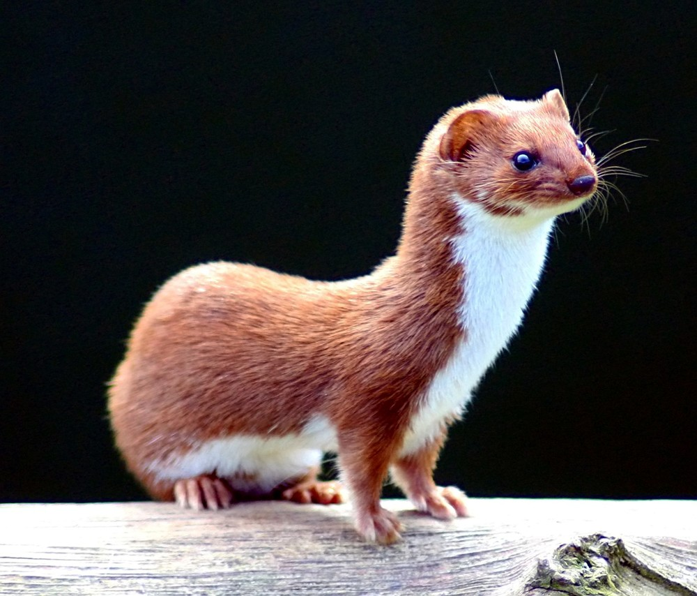 Come to think of it, the weasel DOES look a lot like Andrew Hauptman