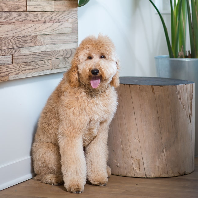 Ruby is the current Vice Paw-resident of Forward Design Build. Ruby has been known to kick back with a bone from time to time and take a nap in the middle of the office. She understands her role very well.   Click here to learn more about Ruby .