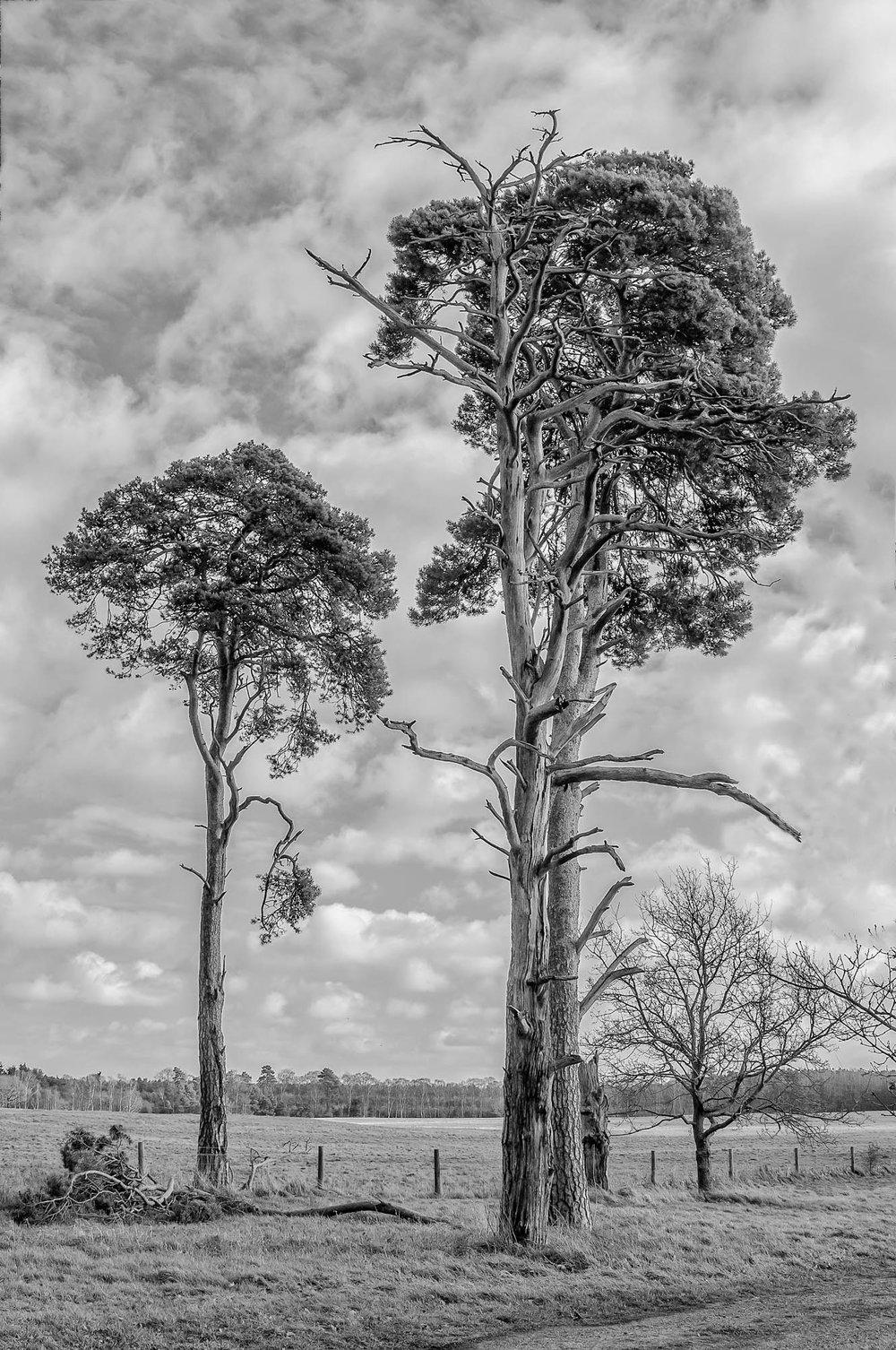 Scots Pines - Norfolk