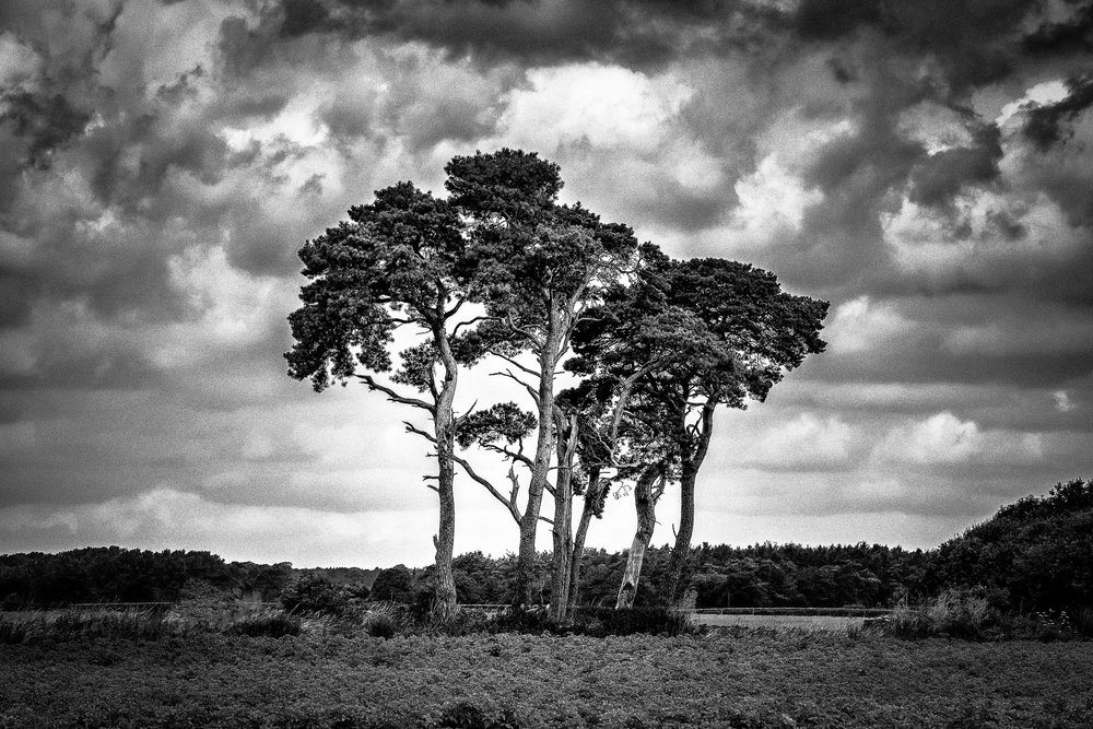 Scots Pines pt2 - Norfolk