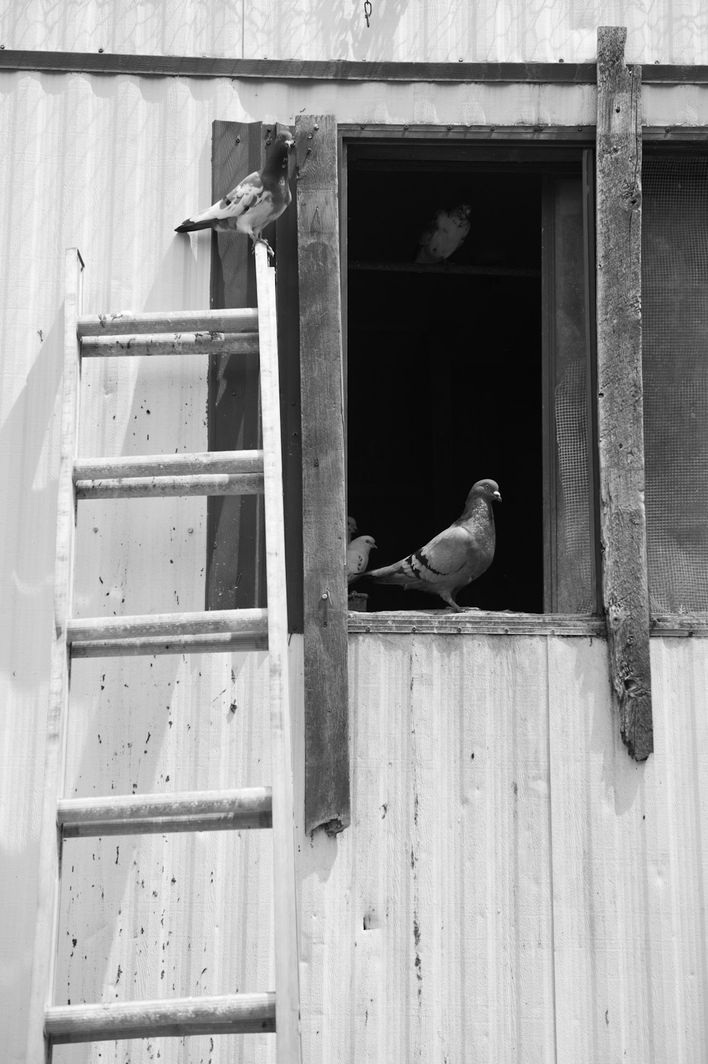 Pigeons rescued by the Avian Sanctuary and Protection.