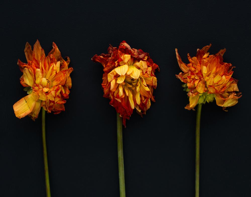 melissademata.com | Dahlia Flower Still Life