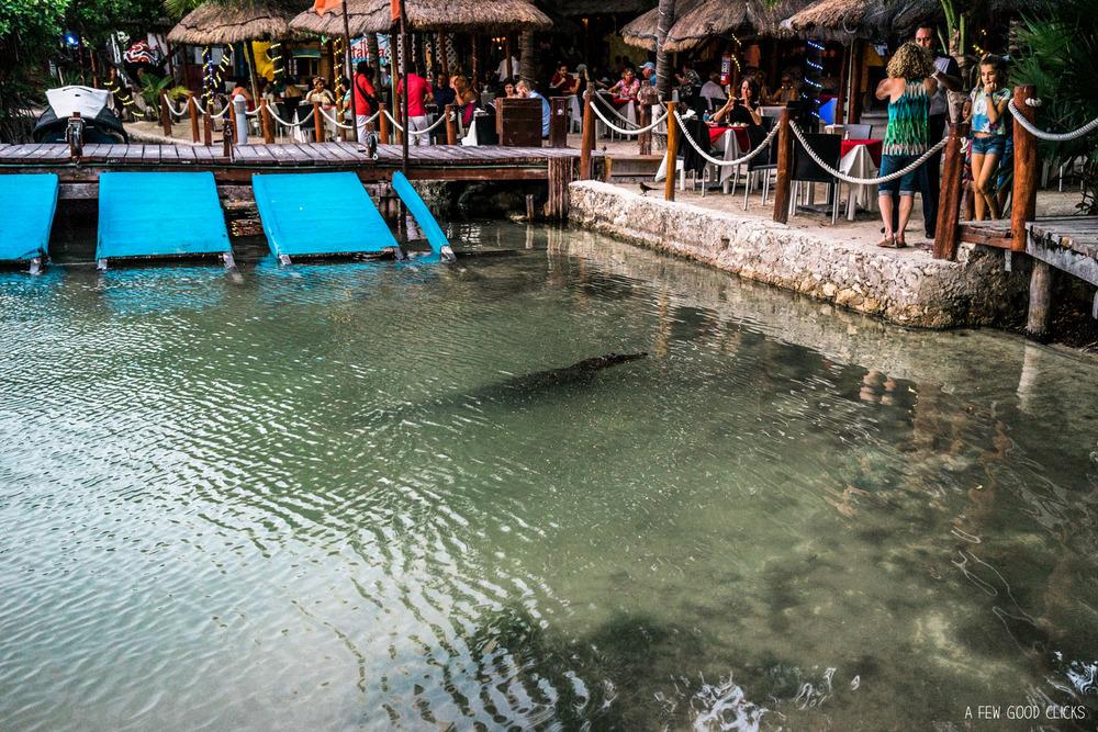 Crocodile in the Nichupte lagoon