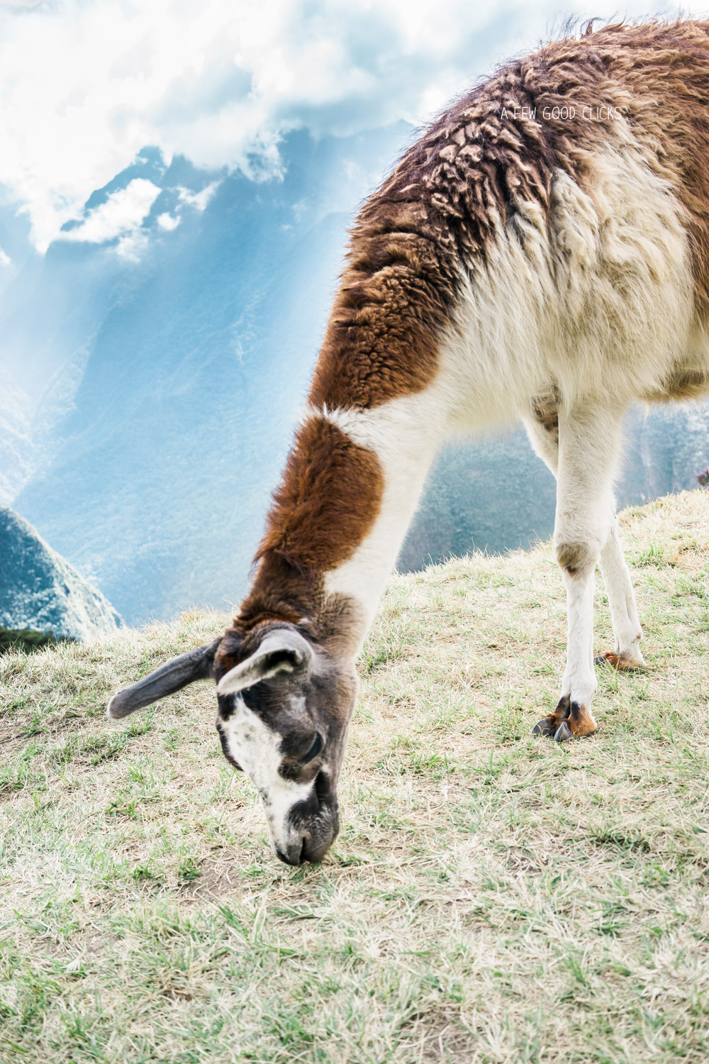Llama on the top of Machu Picchu