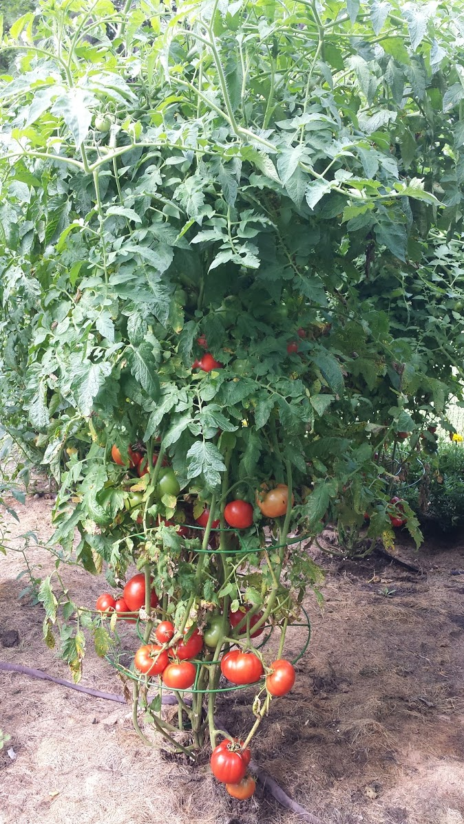 Don't let wind or storms affect your tomato harvest. The Tomato Tower is the only patented adjustable tower that will grow with your garden to provide the support to survive summer thunderstorms.
