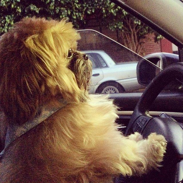 Canino al volante. #dog #happy #doglover #fun #shihtzu