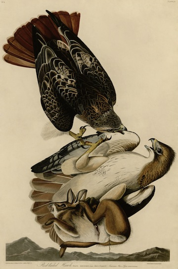Red-Tailed Hawks, painting by John James Audubon.