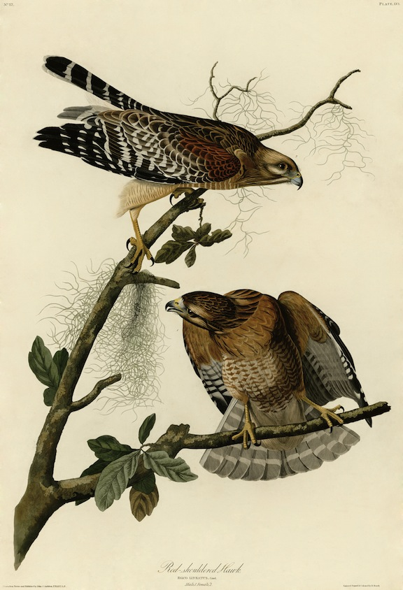 Red-Shouldered Hawks, painting by John James Audubon.