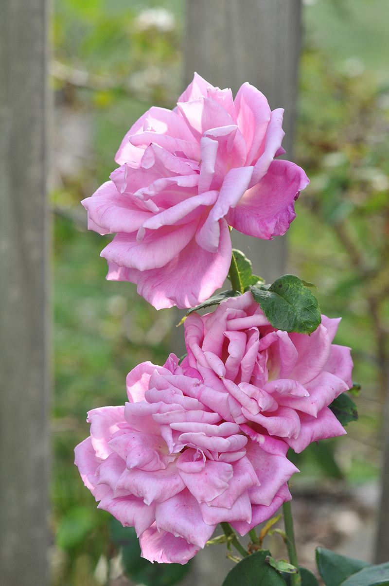 Pink roses growing outside the fence