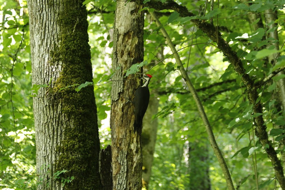 woodpecker.jpeg