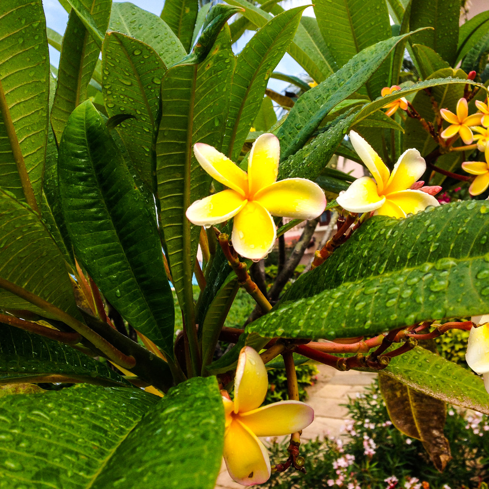Namesake flowers in bloom at the Frangipani Hotel.