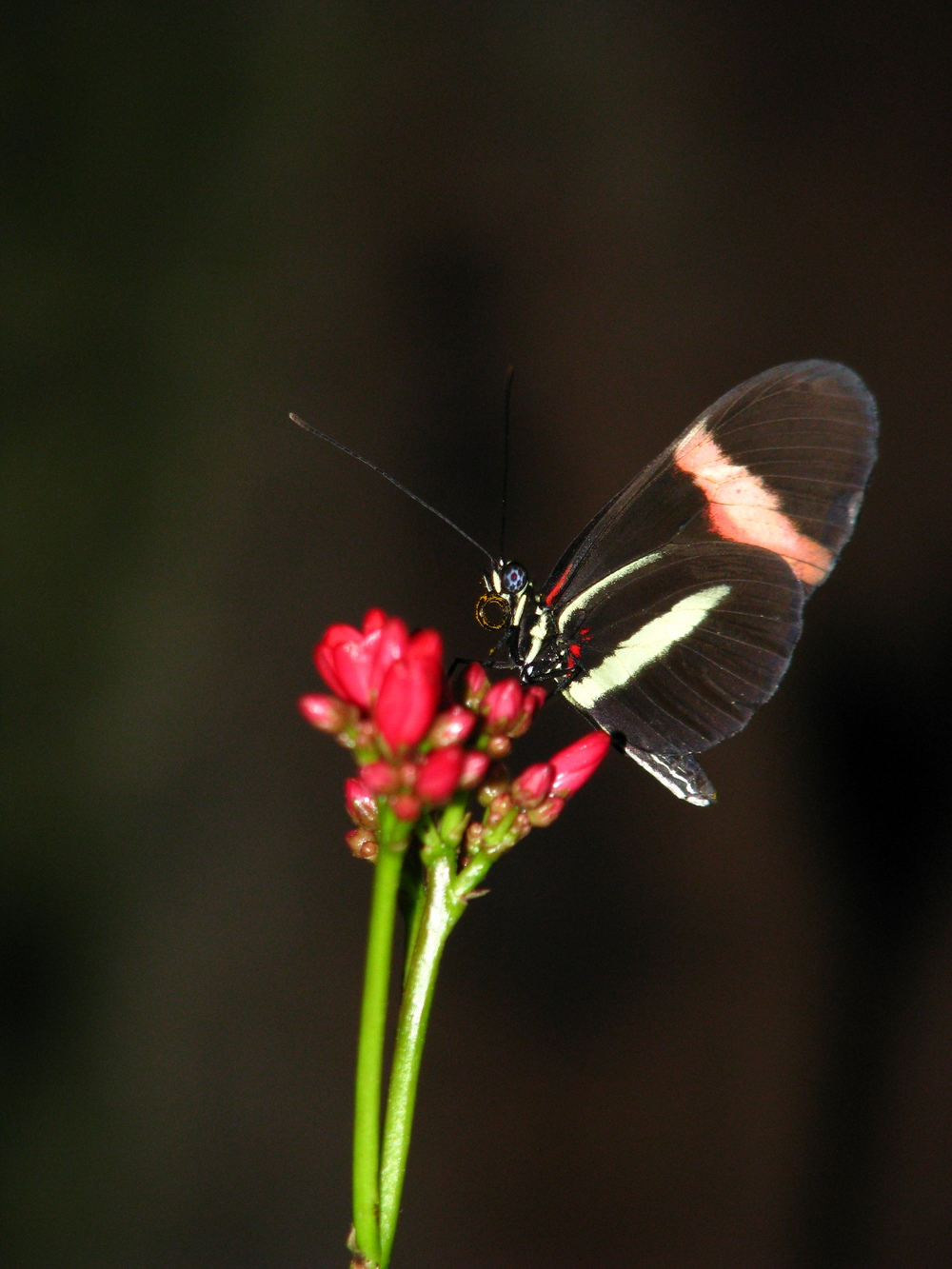 Postman, a tropical species feeding on pollen.